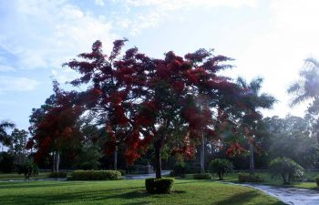 big tree with red leaves